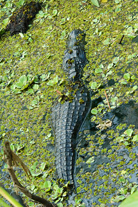 Alligator - American - Corkscrew Swamp - FL