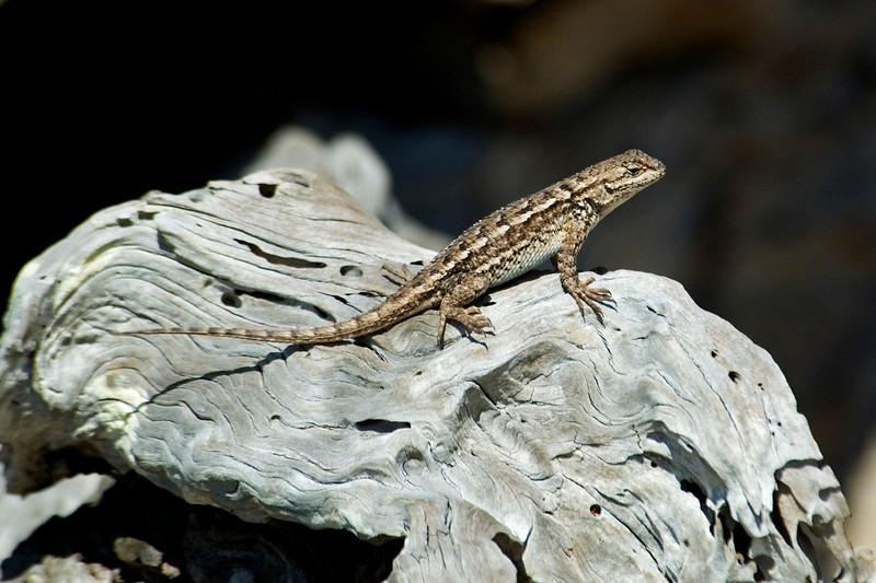 Lizard - Monterey Peninsula, CA