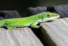 Anole - Green - (Anolis carolinensis) - St. George Island, FL