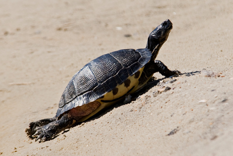 Turtle - Yellowbellied Slider - South Point - Ocracoke Island, NC