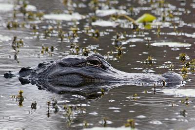 Alligator - American - Wakulla Springs State Park - FL