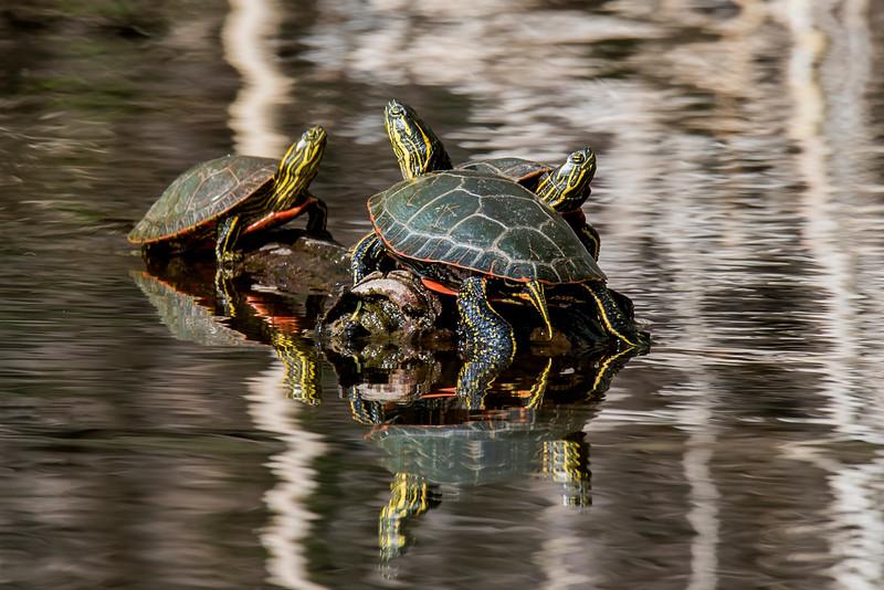 Turtle-Painted - Wood Lake Nature Center - Richfield, MN
