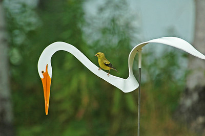Goldfinch on plastic Egret - Dunning Lake - Itasca County, MN