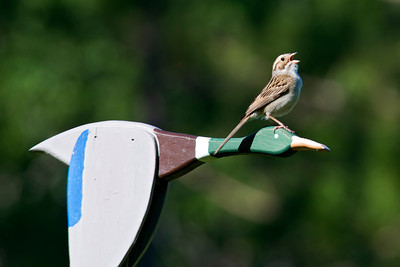 Clay-colored Sparrow on wooden mallard - Itasca County, MN