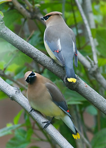 Cedar Waxwing with quizzical look - New Brighton, MN