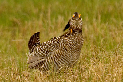 Grouchy looking Greater Prairie Chicken - Moorhead, MN