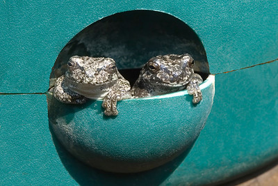 Gray Tree Frogs in flower pot reservior  - Dunning Lake - Itasca County, MN