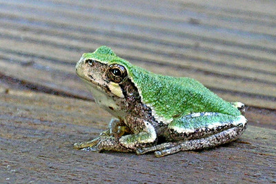 Gray Tree Frog  - Dunning Lake - Itasca County, MN
