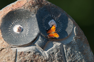 Gray Comma Butterfly on stone owl - Dunning Lake - Itasca County, MN