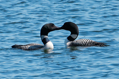 Common Loons - Dunning Lake - Itasca County, MN