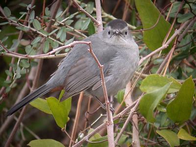 Mad Catbird - St. George Island State Park, FL