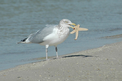 Herring Gull With Starfish - St. George Island, FL