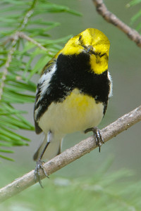Black-throated Green Warbler with quizzical look  - Dunning Lake - Itasca County, MN