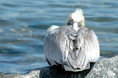 Brown Pelican demonstrating a contortionist move - St. Andrew's State Park, FL
