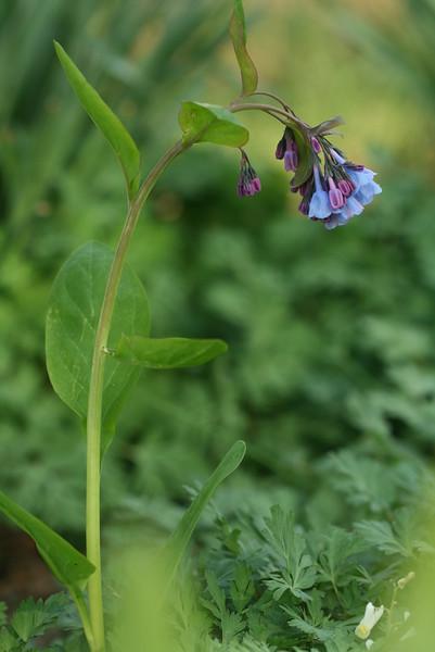 Virginia bluebells (4-18-16, Jesse's garden)