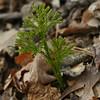 Dendrolycopodium obscurum (4-11-16, Mattix Run)