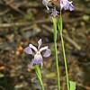 Iris versicolor, first I've seen in Port Republic, Riverside Road, 5/12/10.