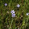 Blue-eyed grass, Sisyrinchium atlanticum, Old New York Road 5/13/10.