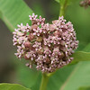Common milkweed, Asclepius syriaca, PRWMA, June 14