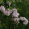 Second shot of mountain laurel, just blooming at PRWMA, 5/16.