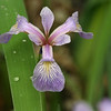 large blue flag Iris versicolor