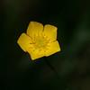 Bulbous buttercup, Rannunculus bulbosus 5/21/10, CLR roadside.