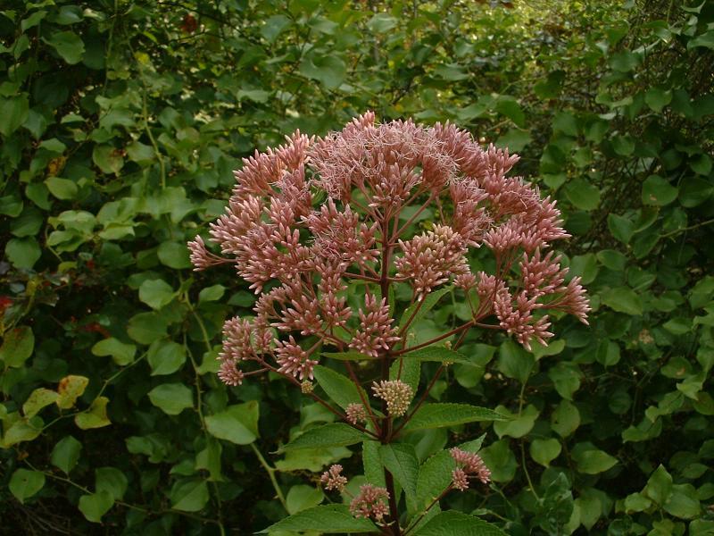 Eastern Joe-Pye weed, <i>Eupatorium dubium</i>, 8-12-04.