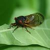Cicada, presumably one of this summer's 17-year Brood II.