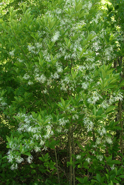 Best find of day:  Chionanthus virginicus, white fringetree in flower, found by chance as we drove down Rt 552