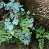 "Columbine & maidenhair fern on ""hanging garden"" wet wall in Zion"