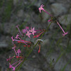 Skyrocket gilia, Gilia aggregata, roadside, ~7000 feet