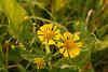 Sneezeweed, <i>Helenium autumnale</i>, an aster.  Yellow-center and notched/wavy-toothed margins on petals seem helpful ID keys.  W. Stone noted that this plant had an odd distribution in NJ, along the Delaware River and up the Atlantic Coast, but not in between. Still true?