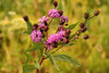 New York ironweed, <i>Vernonia noveboracensis</i>, an aster.  More than a dozen were flowering.