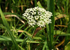 "Water hemlock, <i>Cicuta maculata</i>, a member of the Parsley family, aka spotted cowbane.  The most poisonous plant in North America, according to T. Elpel, <i>Botany In A Day</i> ""The whole plant is toxic....It affects the central nervous system, causing convulsions and quick death.  Some victims chew their tongues to shreds."""
