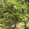 Tree is less than 20 feet tall, near edge of Preserve (which is on north side of Nacote Creek, tidal river that flows to the Muillica Estuary.)  Holly, pines, sweetgum and many oaks nearby.  The tree grows in a particularly dry area of the preserve among dying pines.