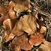 Blackjack oaks leaves KEEP Green Acres, 11-17 -15.