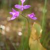 Grass pink, Calopogon tuberosus