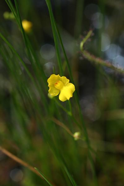 Fibrous bladderwort, Utricularia striata (= U. fibrosa).