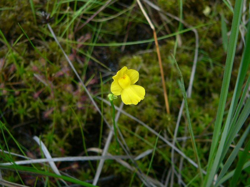"<i>Utricularia striata [=U. fibrosa]</i>, fibrous blatterwort, ""Below The Locks"" on Mullica River."