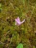 "<i>Arethusa bulbosa</i>, dragonmouth orchid, ""Batsto Bog."""