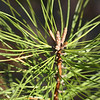 Pitch pine with flowers just forming, Old Port Road, 4/9/09