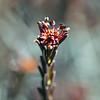 Broom crowberry, <i>Corema conradii</i>, blooming Warren Grove, 3/17/09.