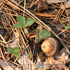 Wild strawberry second photo, OPR, 4/9/09.  Note fuzzy white on stem, which is not always illustrated in field guides.