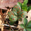Cinquefoil(?), now leafing out and attacked by fungi? Old Port Road 4/9/09.