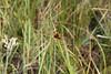 <i>Rhynchospora cephalantha</I> (I believe), on edge of second pond.