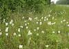 A flush of white fringed orchids, <i>Habenaria blephariglottis</i>, Rt. 563 roadside ditch.
