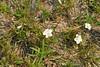 Pickering's morning glory, <i>Stylisma pickeringii</i>, in long-time spot, near old RR tracks.