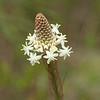 Turkeybeard, <i>Xerophyllum asphodeloides</i>, flowering 5/24/09.