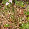 Threadleaf sundew, <i>Drosera filiformis</i>