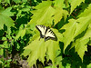 """Possible """"Appalchian"""" tiger swallowtail, female, Williams River, Pocahantos County, road to Tea Creek Campground, May 22, 2006, 4:00 pm."""